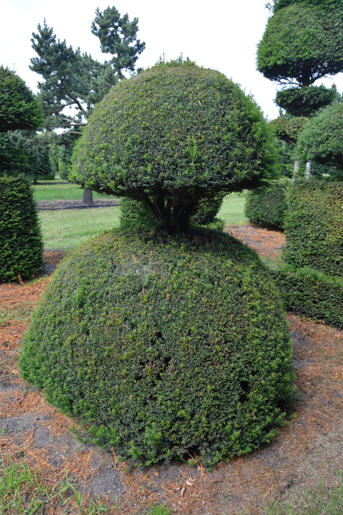 Taxus baccata (Yew) bespoke topiary plant (53)
