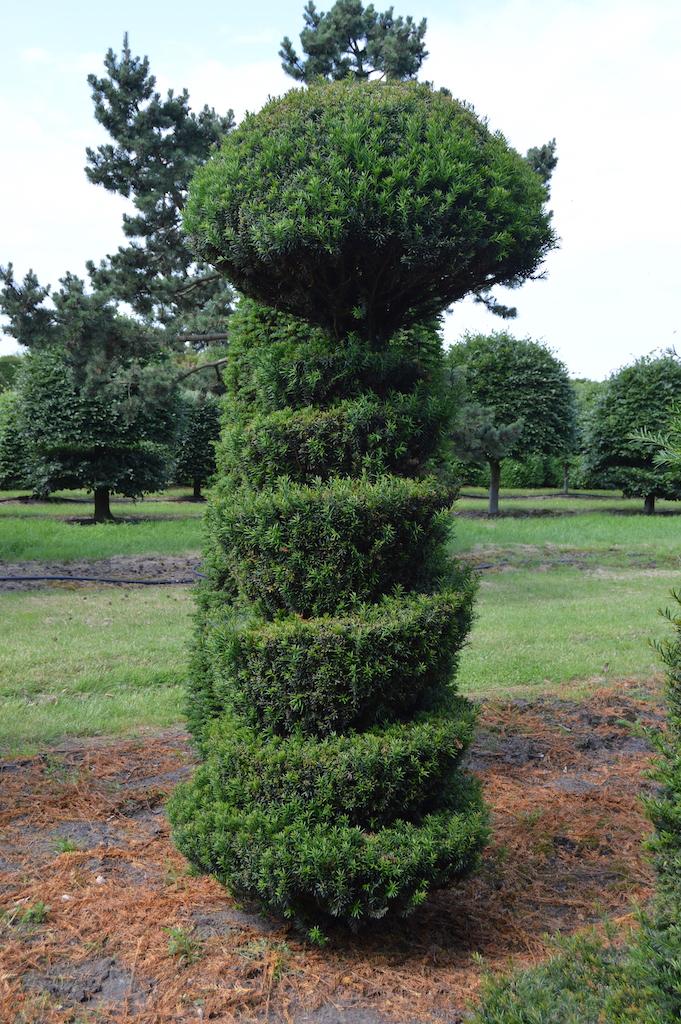 Taxus baccata (Yew) bespoke topiary plant (54)