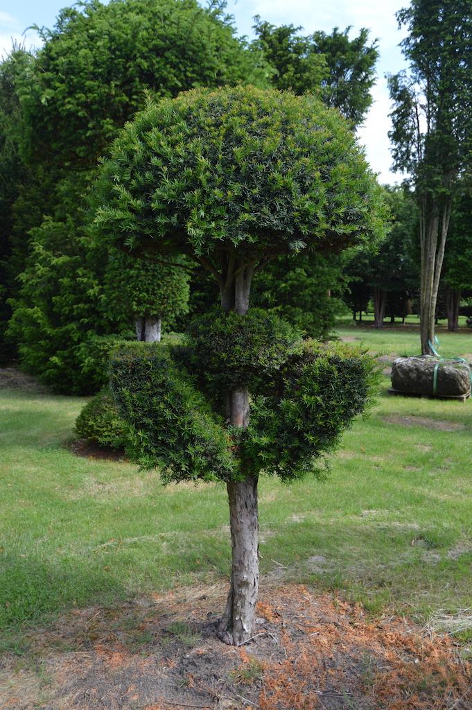 Taxus baccata (Yew) bespoke topiary plant (57)