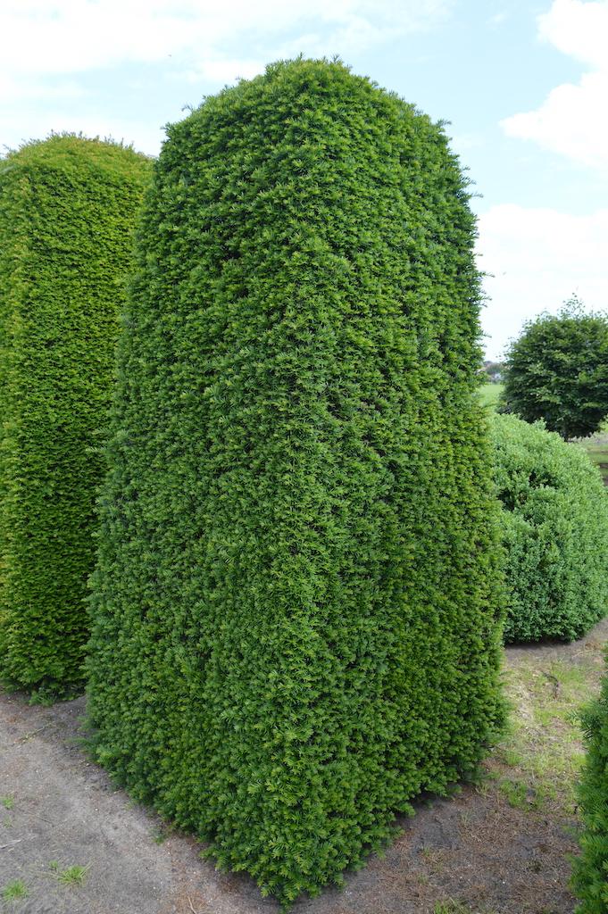 Taxus baccata (Yew) bespoke topiary plant (58)
