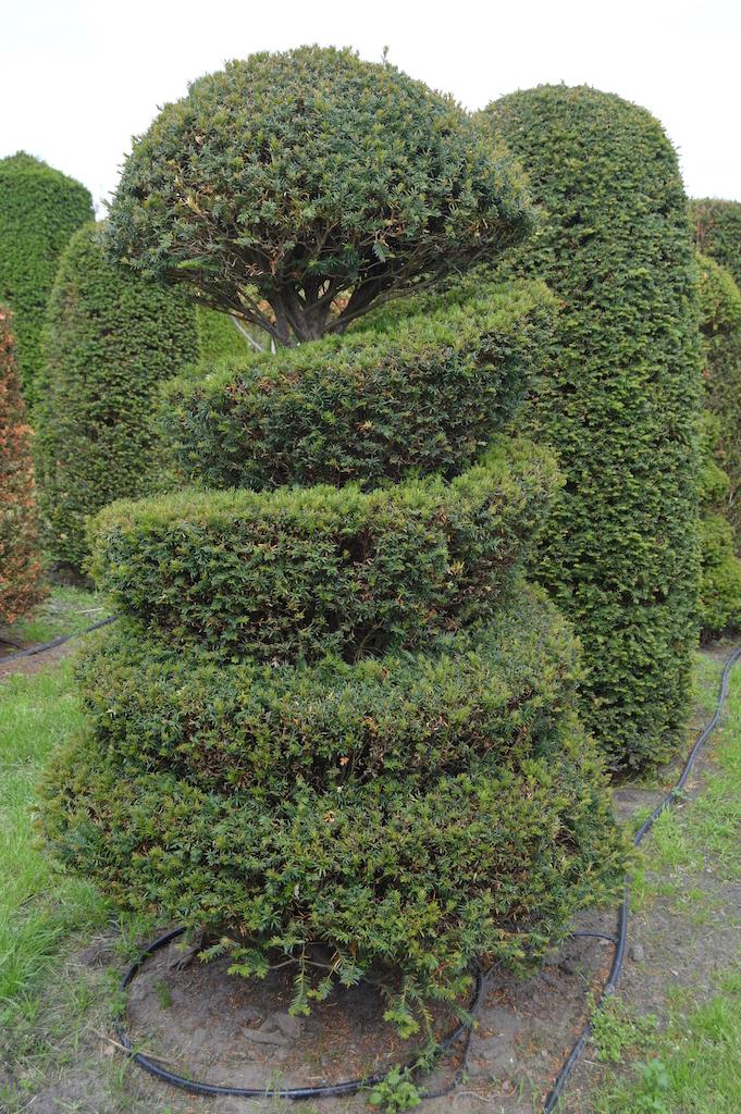 Taxus baccata (Yew) bespoke topiary plant (61)