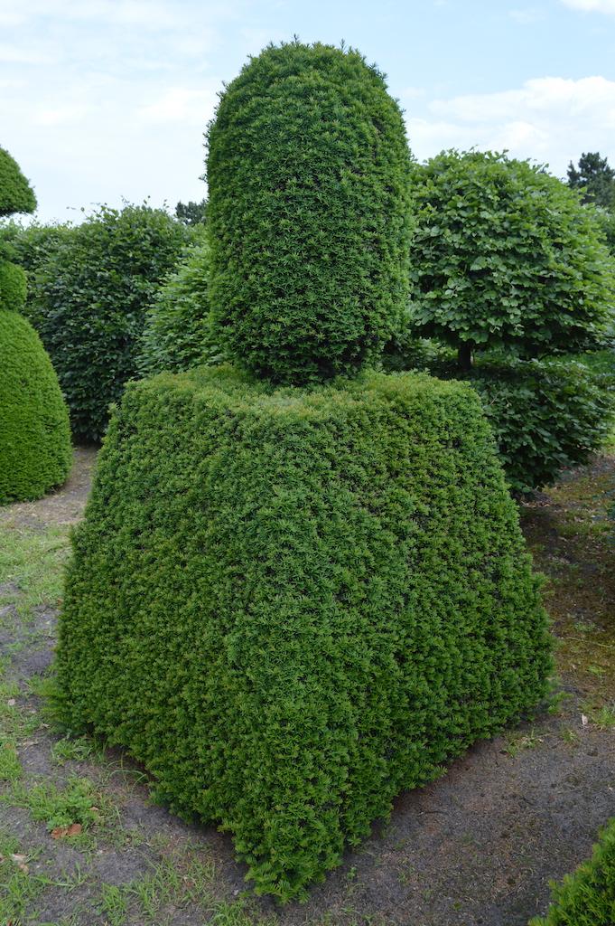 Taxus baccata (Yew) bespoke topiary plant (63)