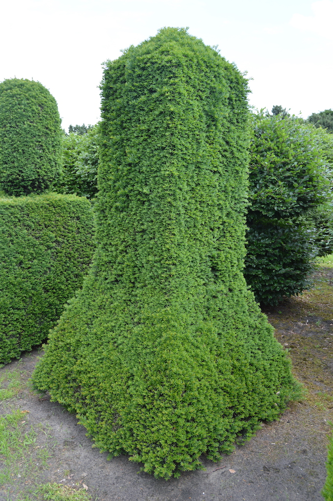 Taxus baccata (Yew) bespoke topiary plant (64)