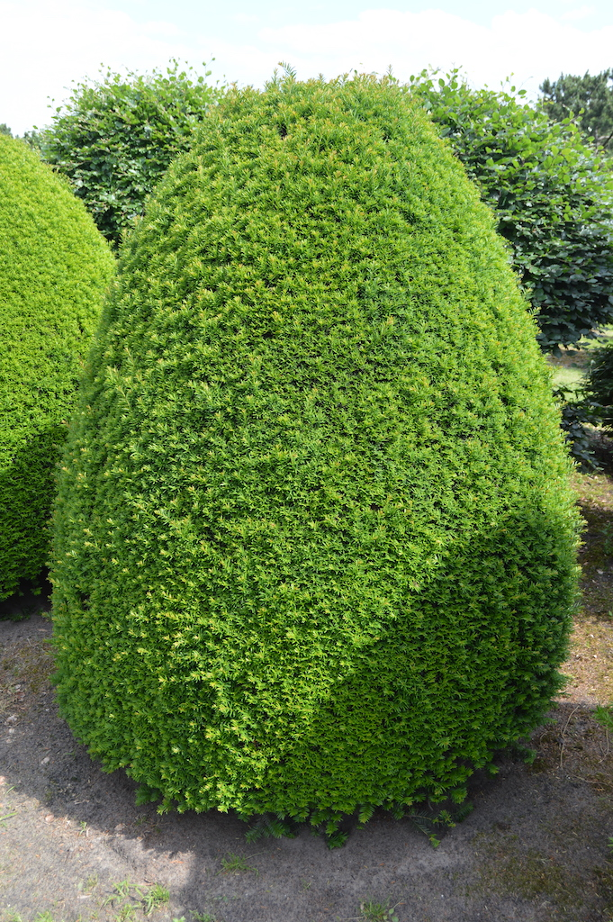 Taxus baccata (Yew) bespoke topiary plant (66)