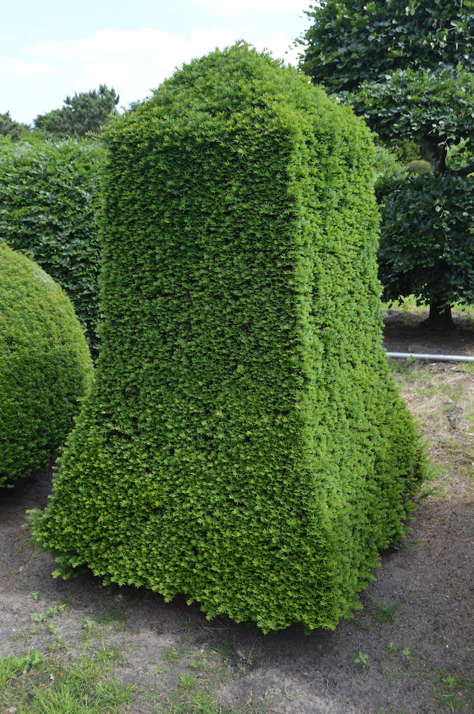 Taxus baccata (Yew) bespoke topiary plant (67)