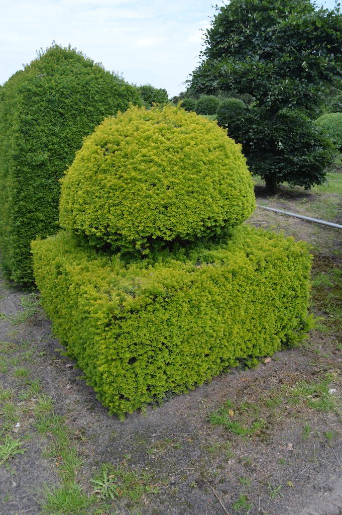 Taxus baccata (Yew) bespoke topiary plant (68)