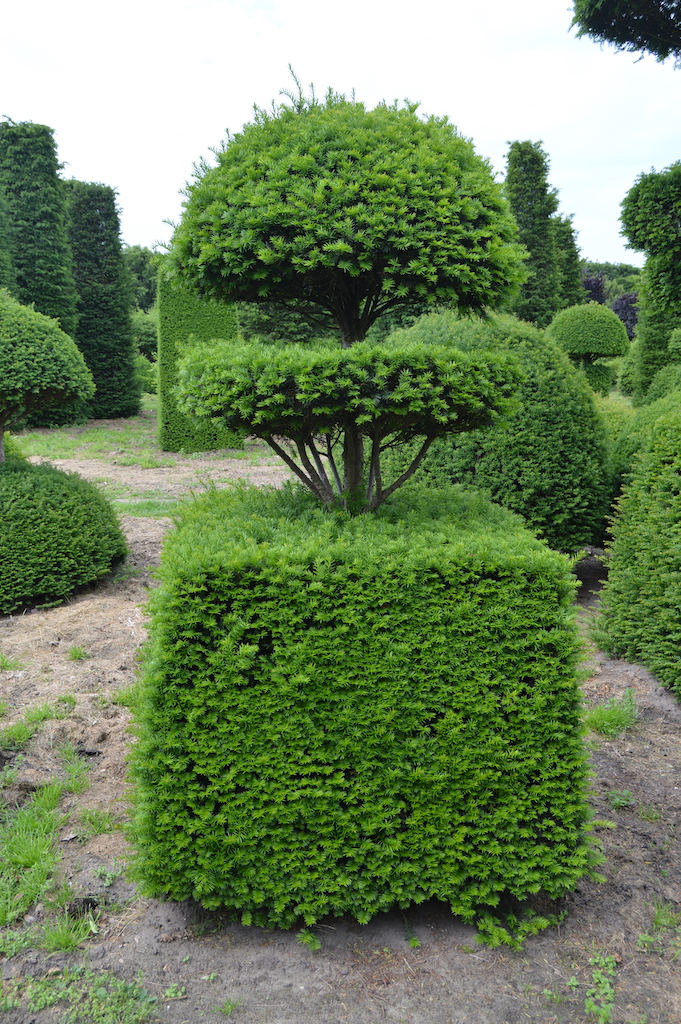 Taxus baccata (Yew) bespoke topiary plant (7)