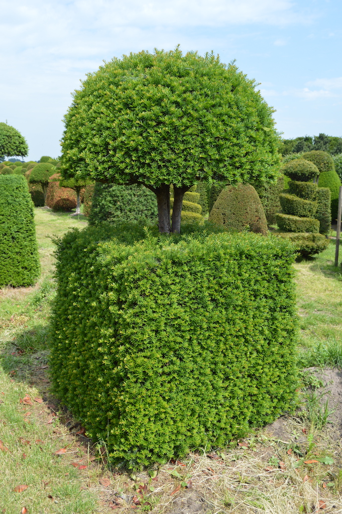 Taxus baccata (Yew) bespoke topiary plant (70)