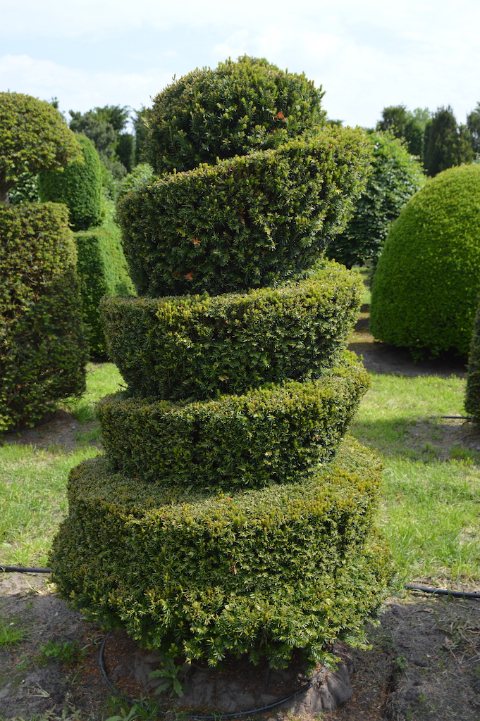 Taxus baccata (Yew) bespoke topiary plant (75)
