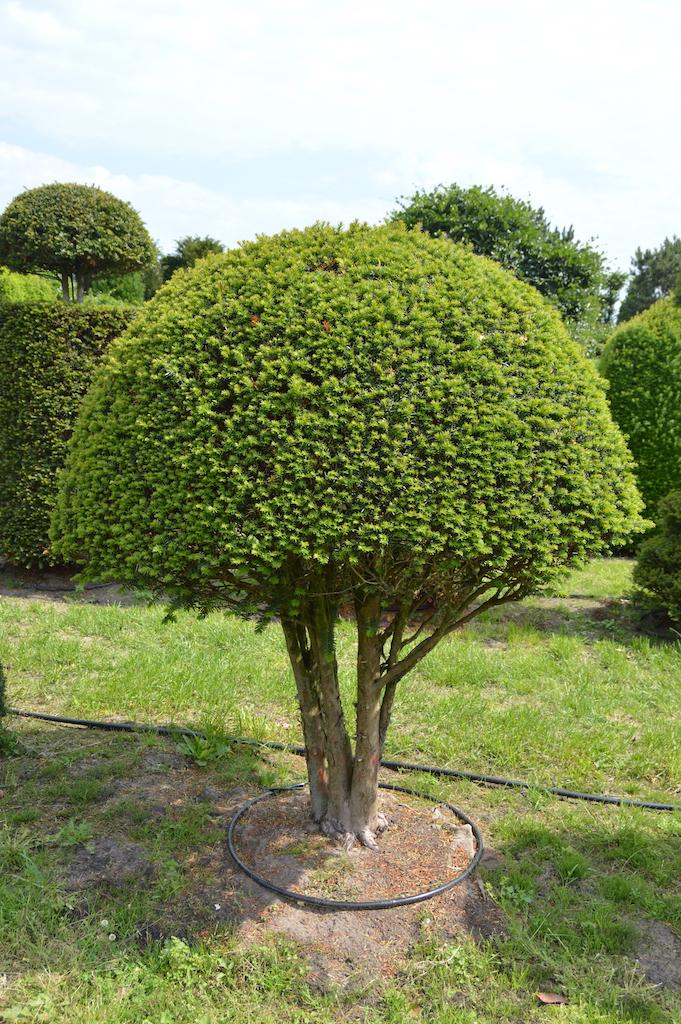 Taxus baccata (Yew) bespoke topiary plant (78)