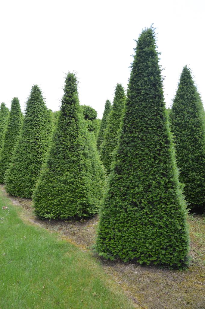 Taxus baccata (Yew) bespoke topiary plant (80)