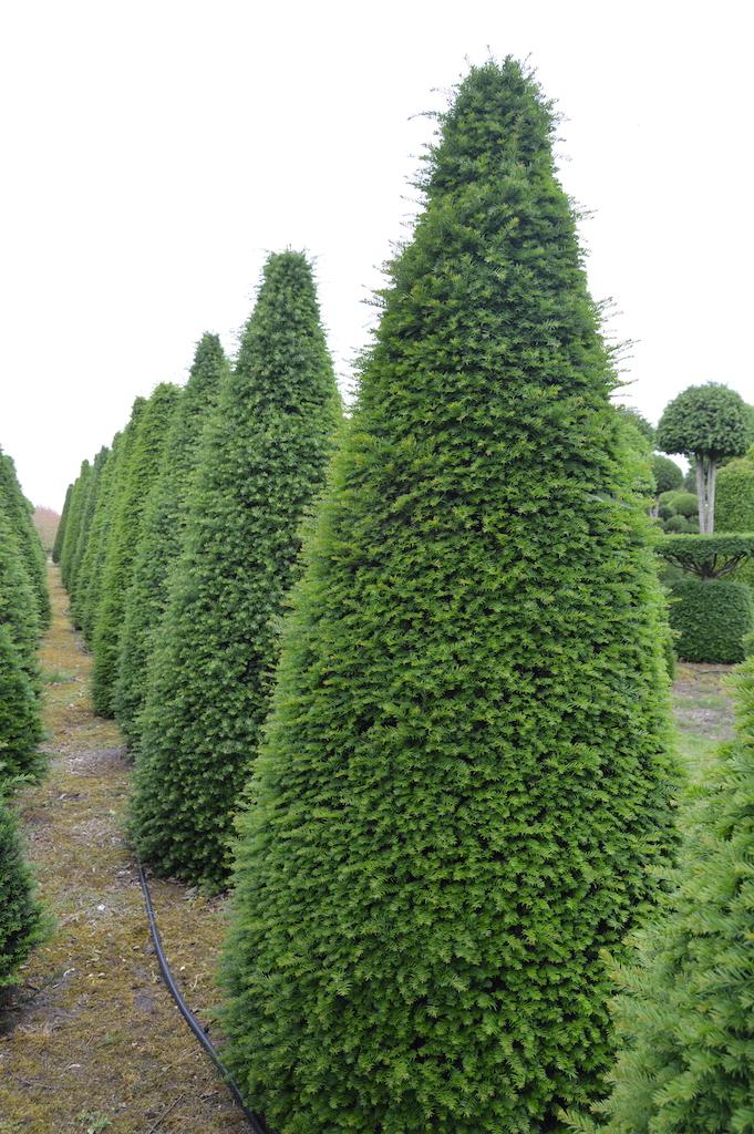 Taxus baccata (Yew) bespoke topiary plant (81)