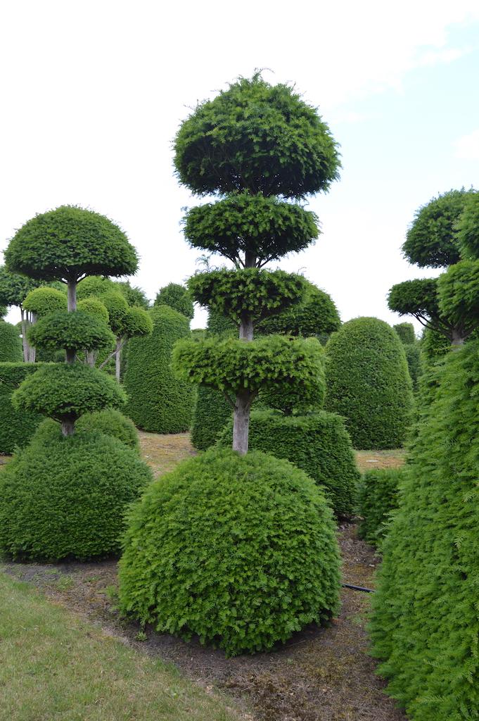 Taxus baccata (Yew) bespoke topiary plant (83)
