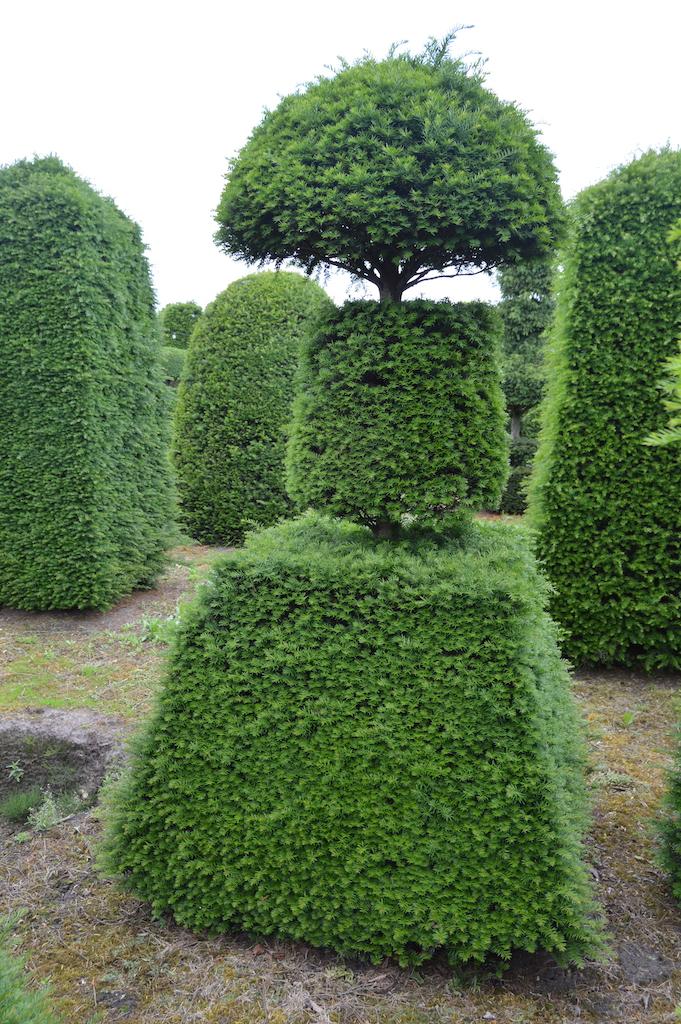 Taxus baccata (Yew) bespoke topiary plant (84)