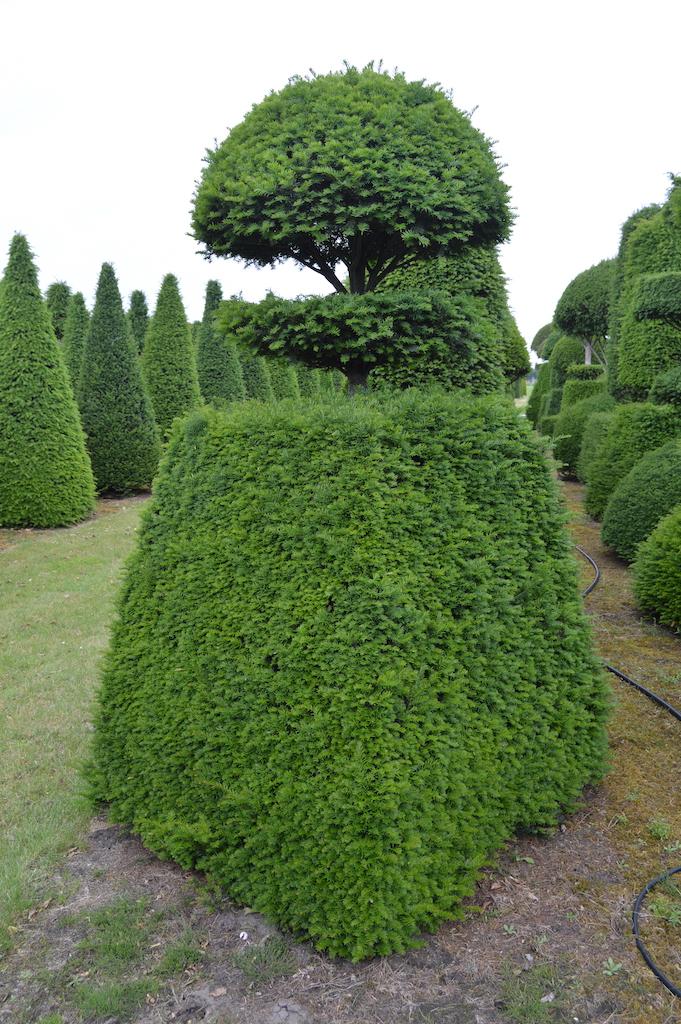 Taxus baccata (Yew) bespoke topiary plant (85)