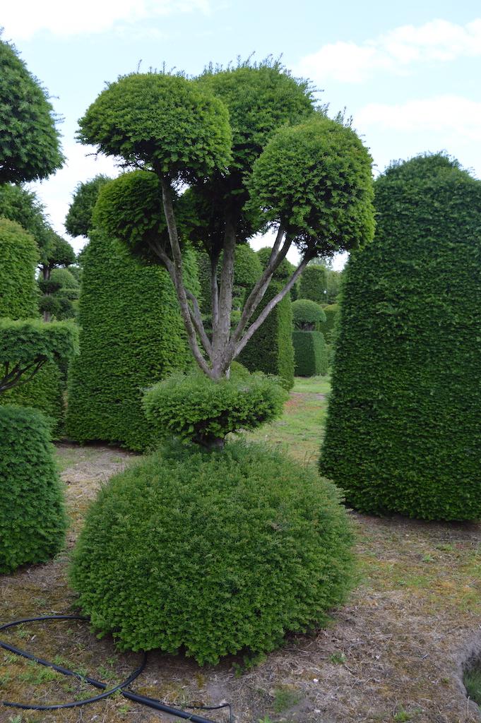 Taxus baccata (Yew) bespoke topiary plant (86)