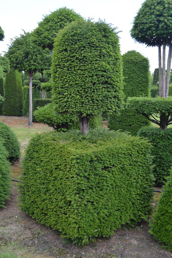Taxus baccata (Yew) bespoke topiary plant (87)