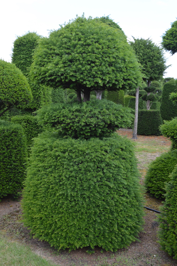 Taxus baccata (Yew) bespoke topiary plant (88)