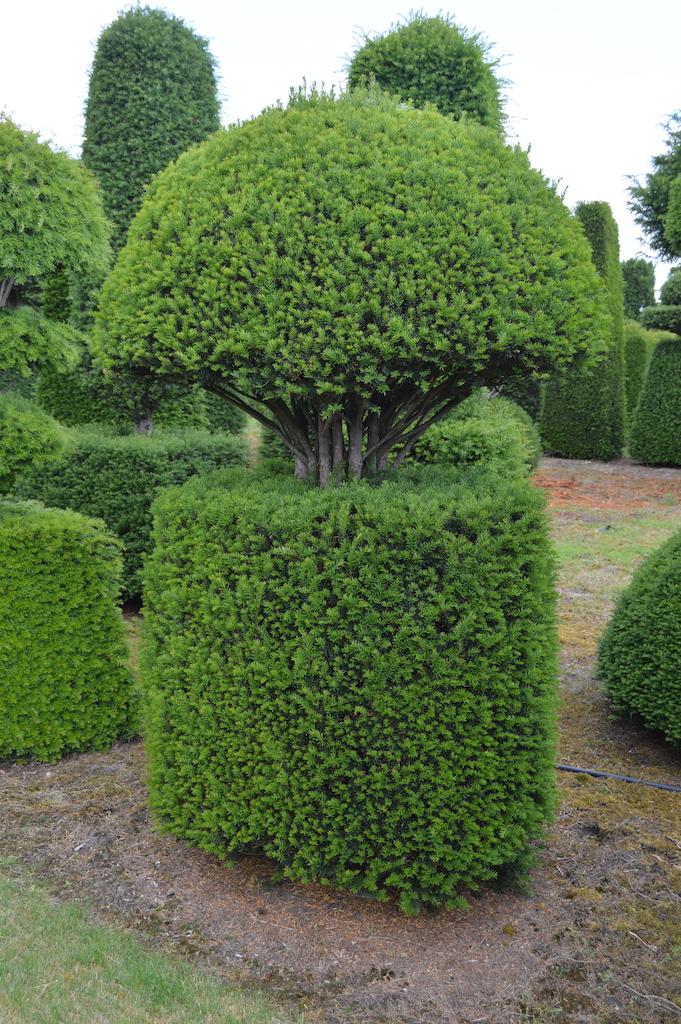 Taxus baccata (Yew) bespoke topiary plant (89)