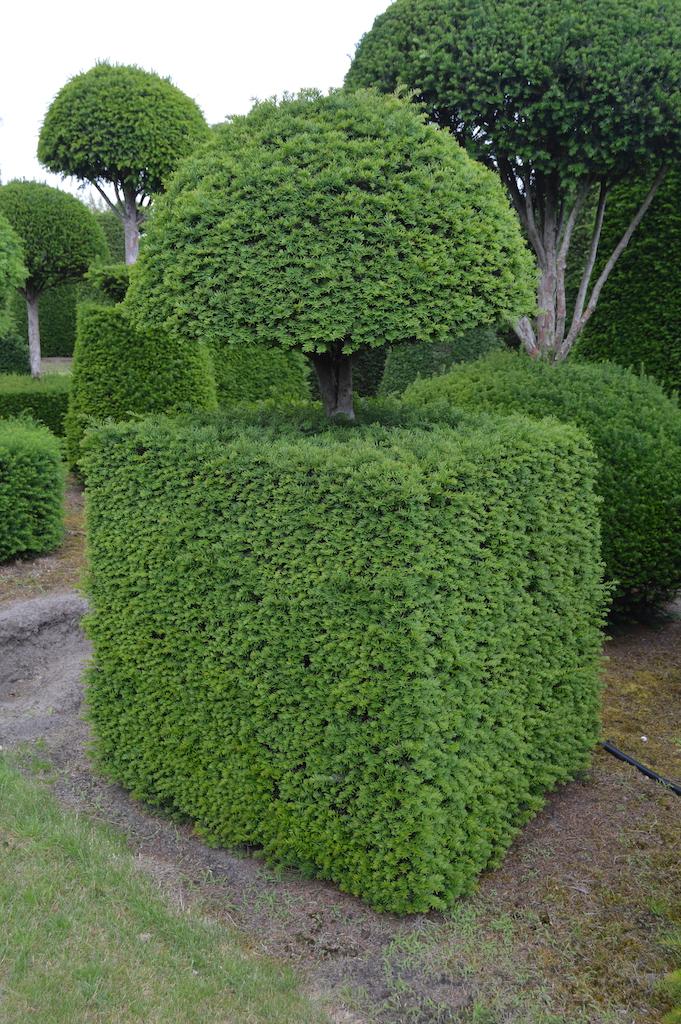Taxus baccata (Yew) bespoke topiary plant (91)