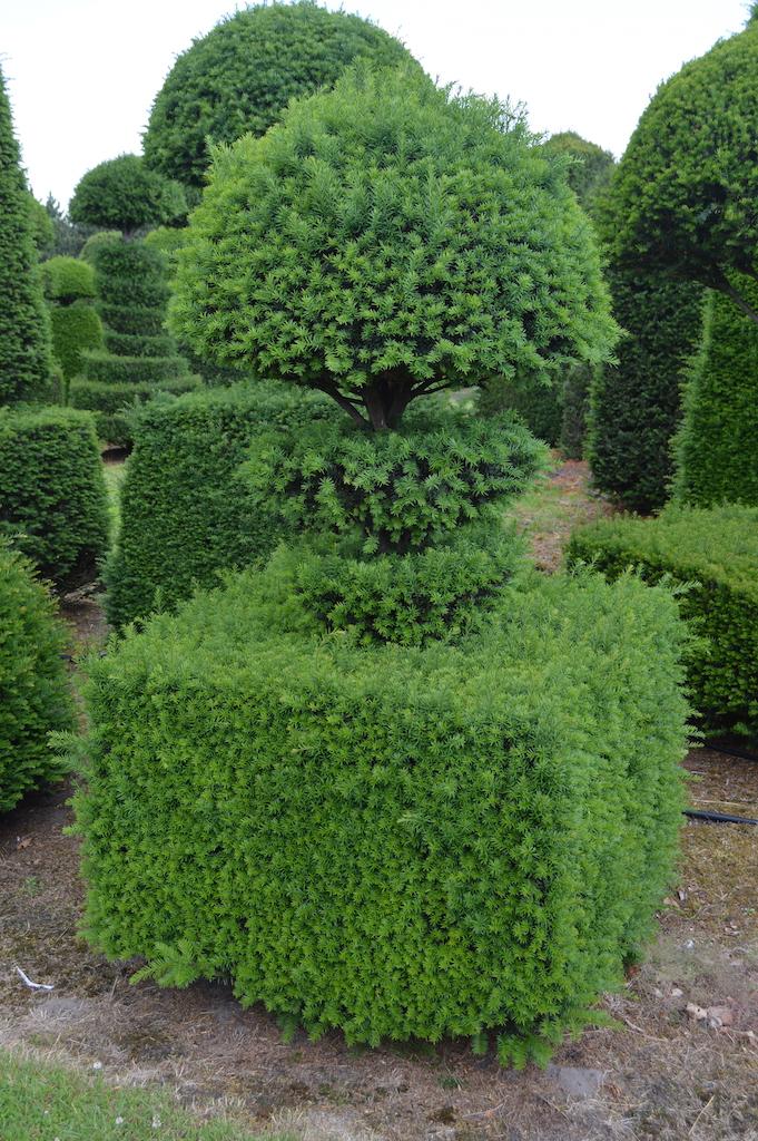 Taxus baccata (Yew) bespoke topiary plant (93)