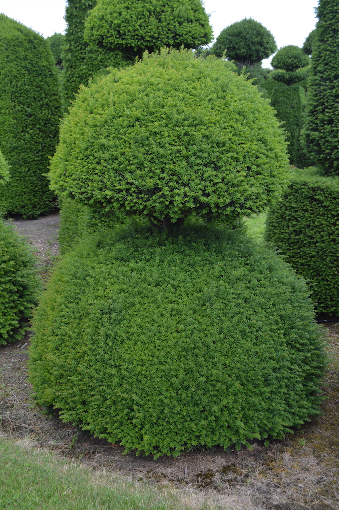 Taxus baccata (Yew) bespoke topiary plant (94)