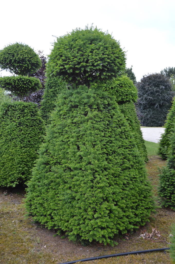 Taxus baccata (Yew) bespoke topiary plant (95)