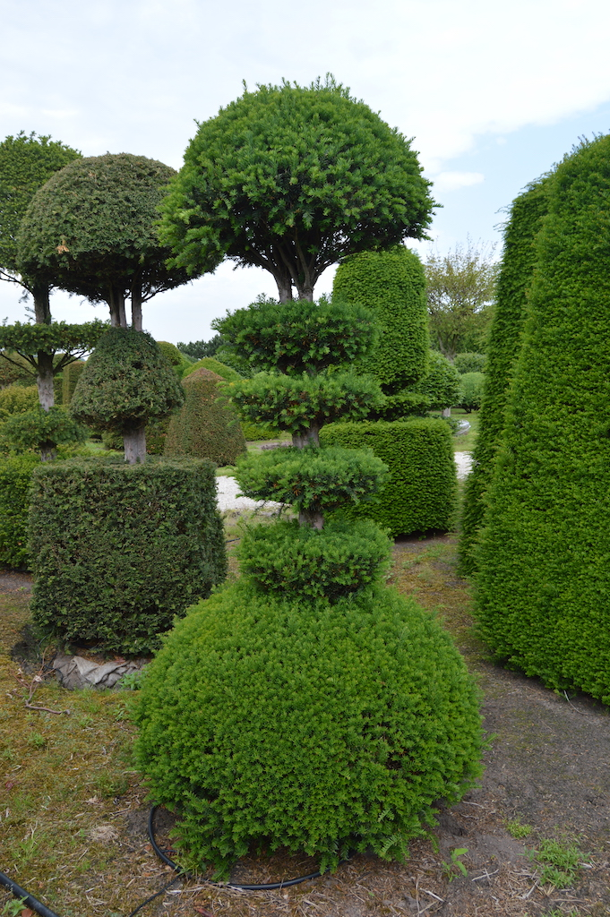 Taxus baccata (Yew) bespoke topiary plant (98)