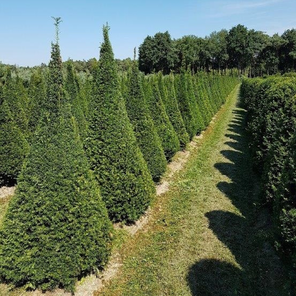 Taxus baccata (Yew) cones 175-200cm tall