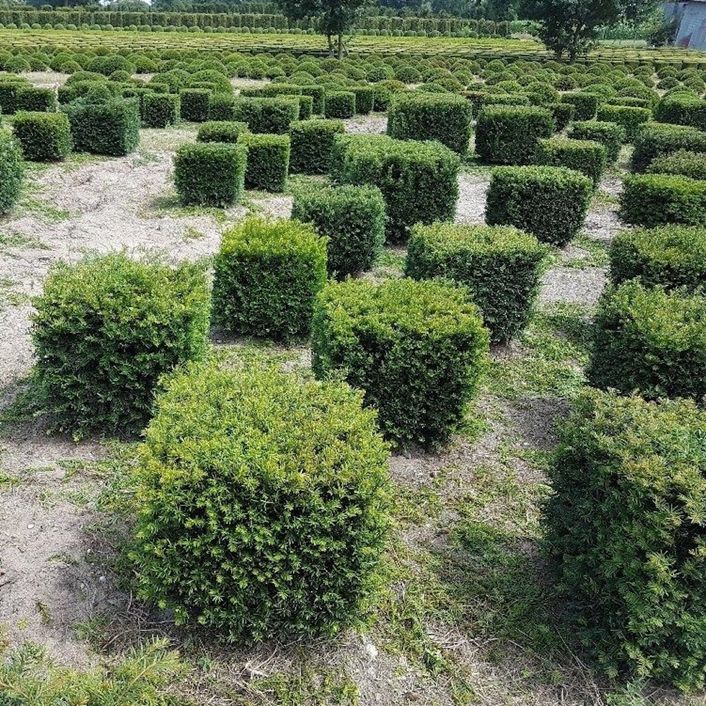 Taxus baccata (Yew) cubes 60-70cm