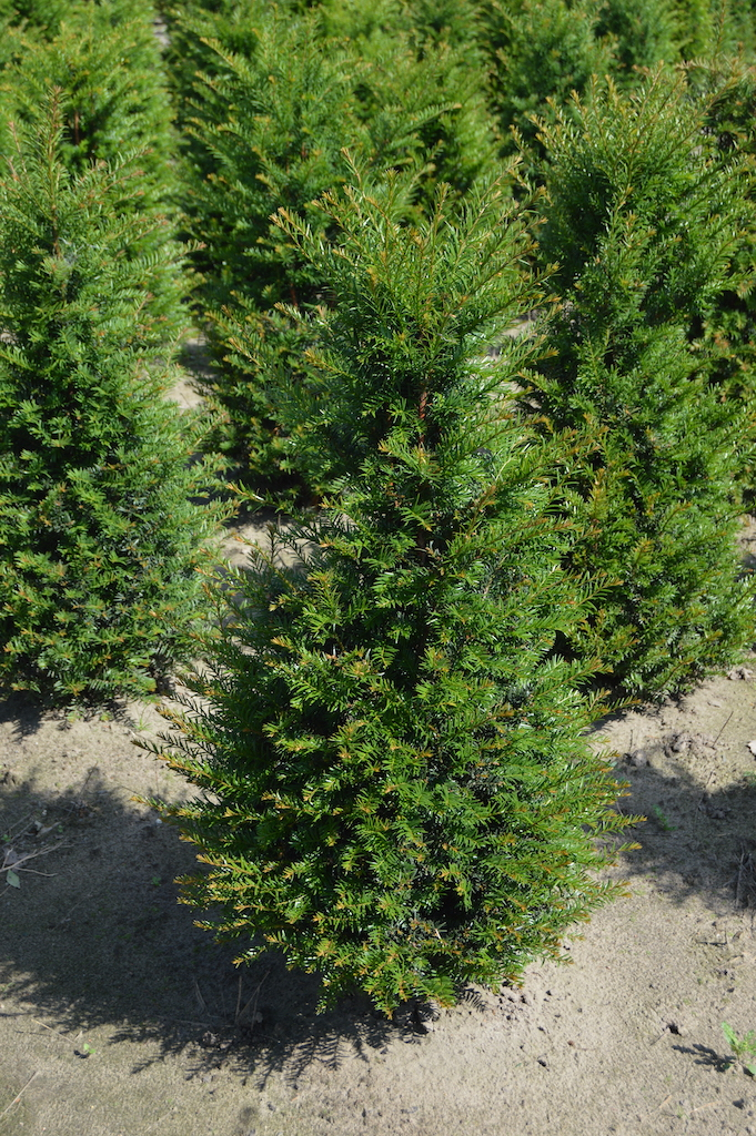 Taxus baccata (Yew) hedge plant 100-125cm