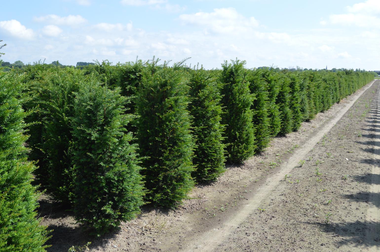 Taxus baccata (Yew) hedge plants 175-200cm