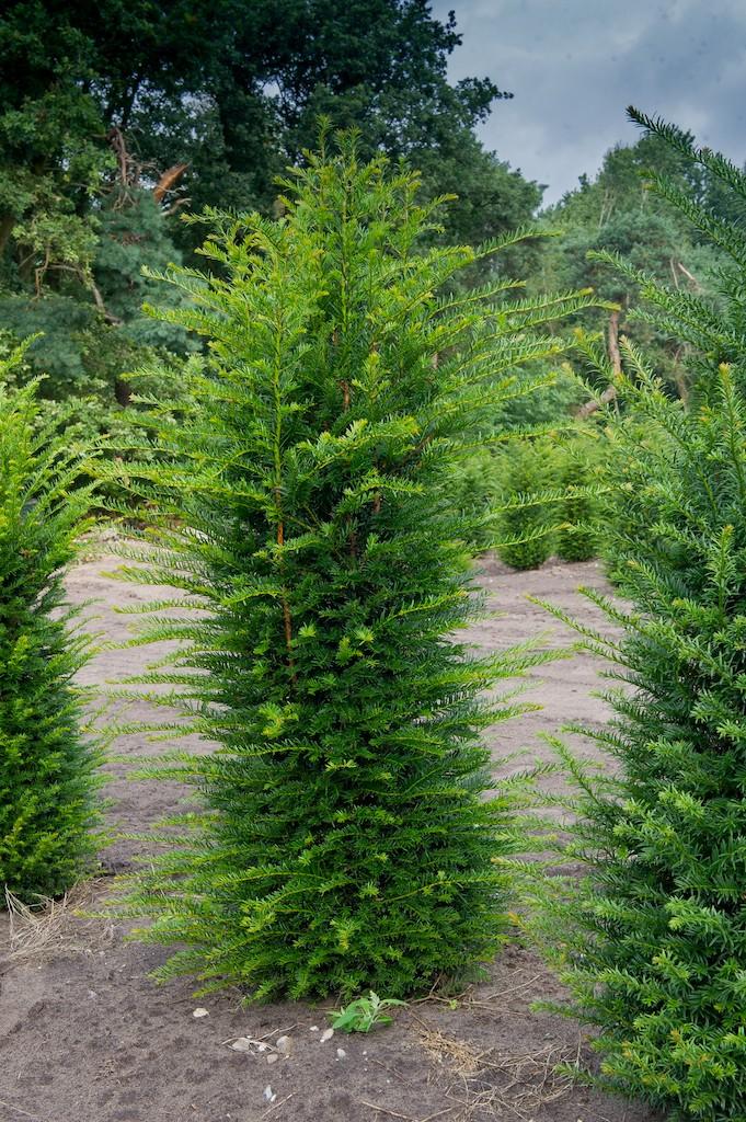 Taxus baccata (Yew) hedge plants