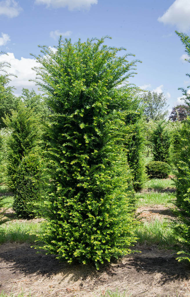 Taxus baccata (Yew) instant hedge plants