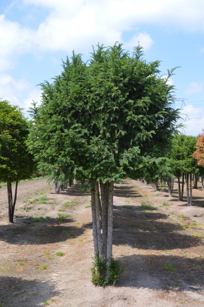 Taxus baccata (Yew) multi-stem tree