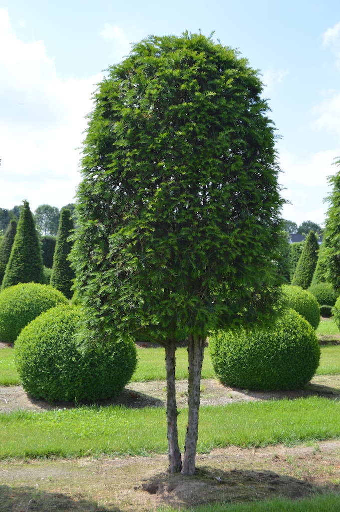 Taxus baccata (Yew) shaped multi-stem tree