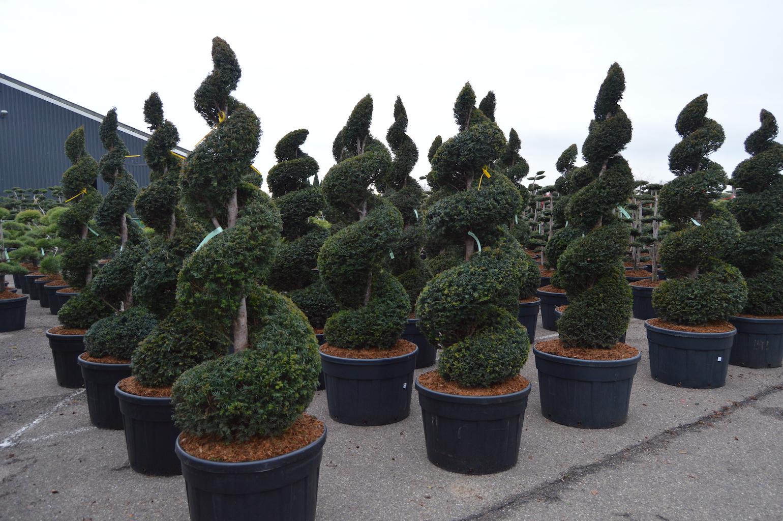 Taxus baccata (Yew) spirals