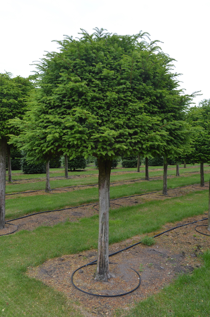 Taxus baccata (Yew) standard