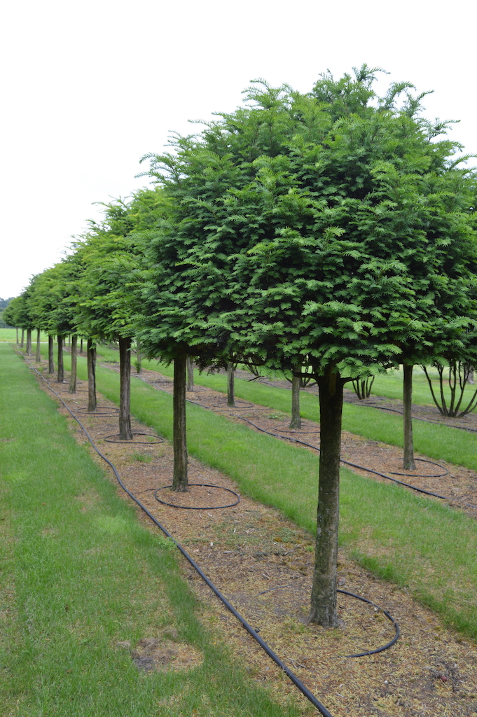 Taxus baccata (Yew) standards