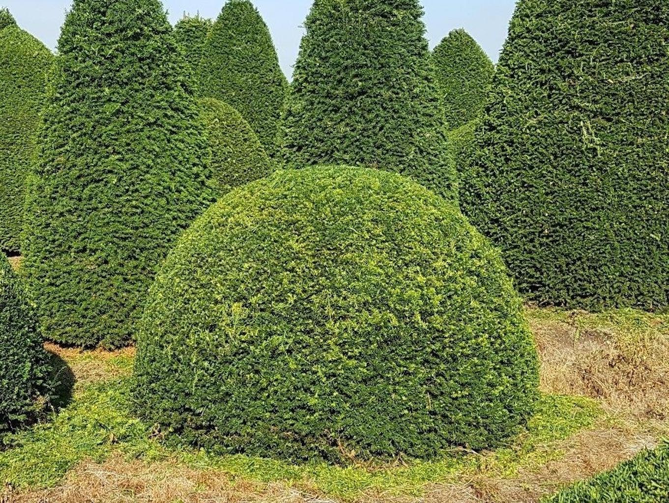 Taxus baccata (Yew) topiary ball 180-200cm diameter