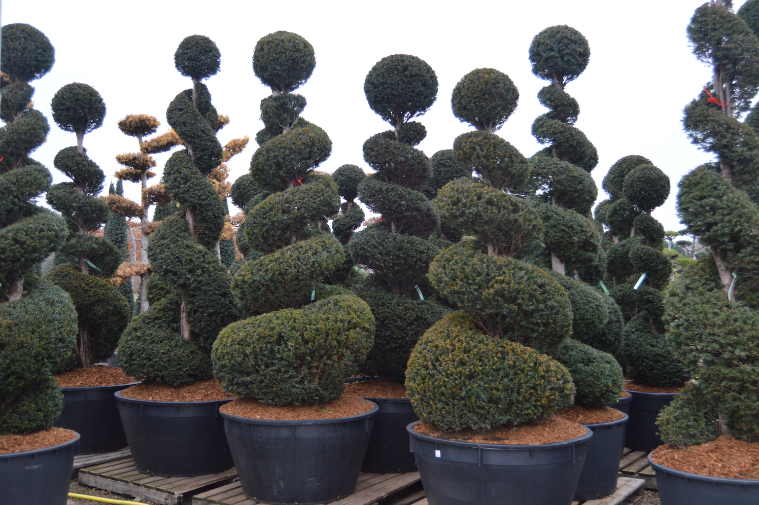 Taxus baccata assorted Yew topiary spiral shapes in container