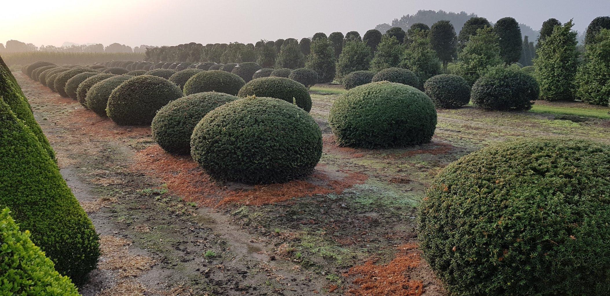 Taxus baccata balls 170-180-190cm