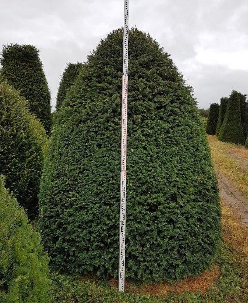 Taxus baccata beehive 200-250cm tall, 200-250cm diameter