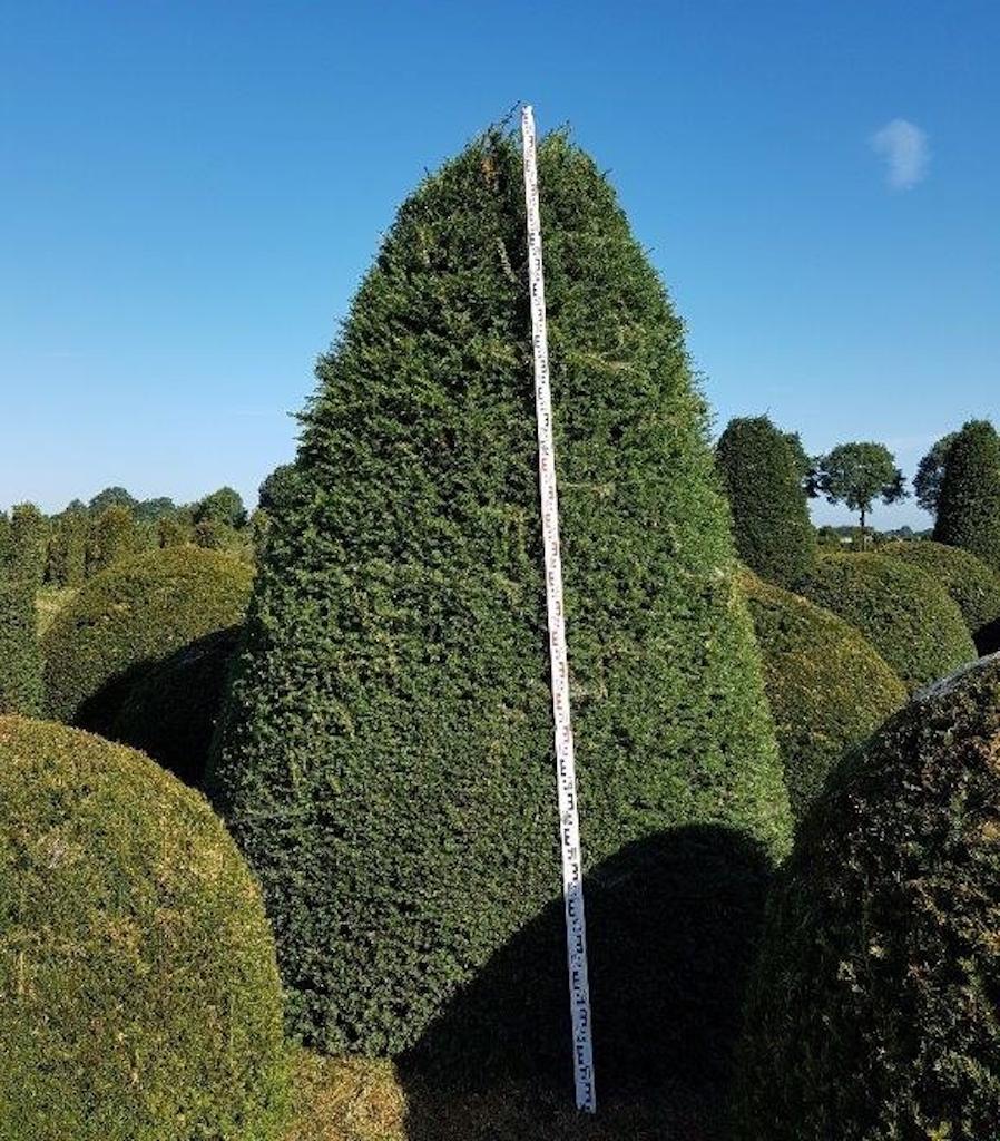 Taxus baccata beehive 300-350cm tall x 200-250cm diameter