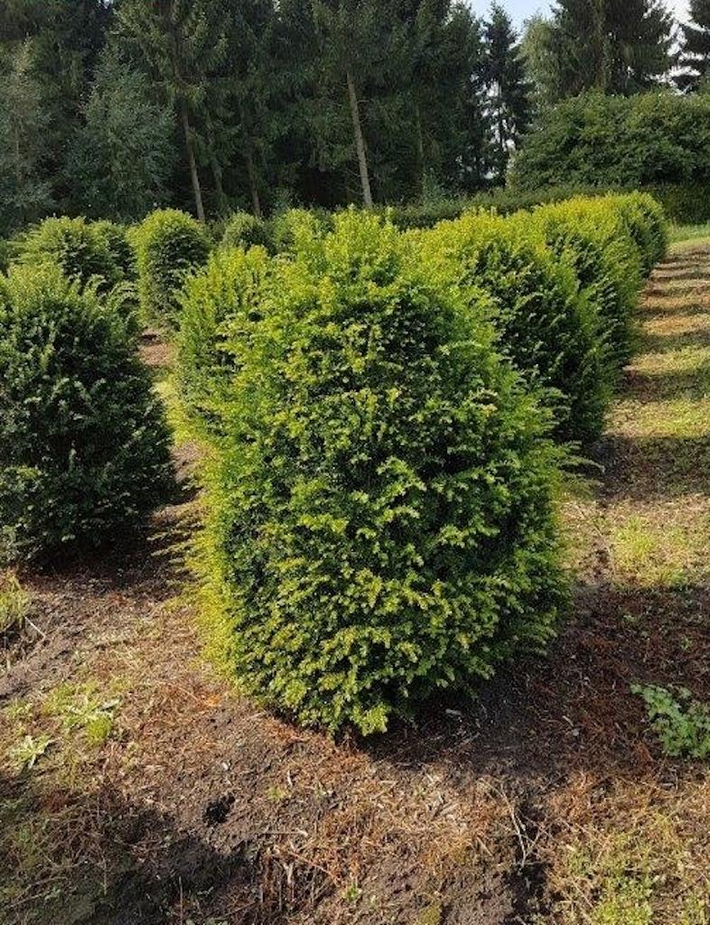 Taxus baccata beehives 100-120cm tall x 80-90cm diameter