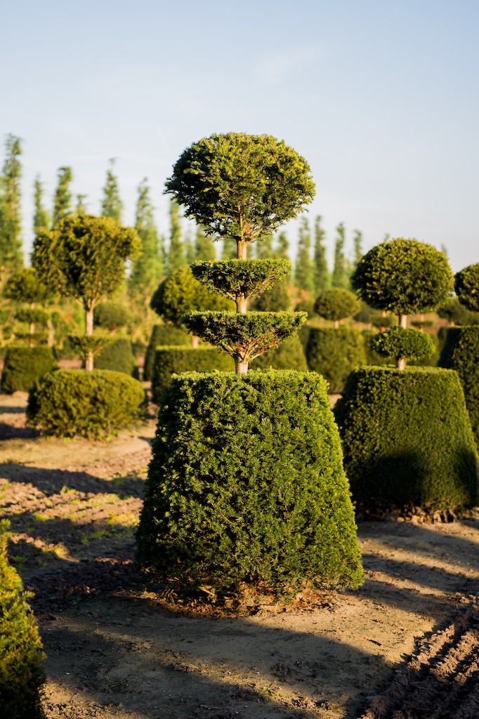 Taxus baccata bespoke topiary specimen with tiers and ball