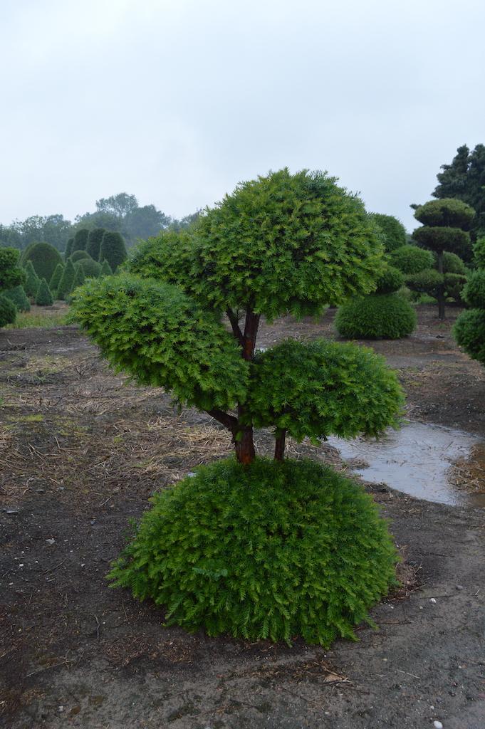 Taxus baccata cloud pruned tree (1)