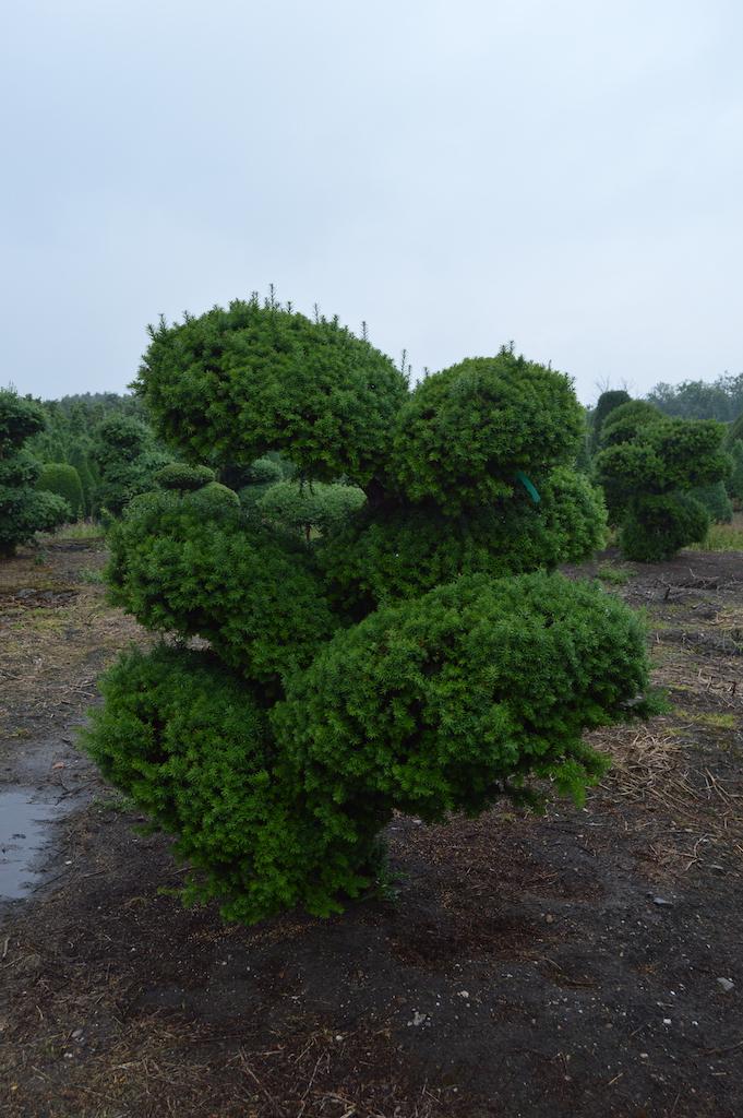 Taxus baccata cloud pruned tree (2)