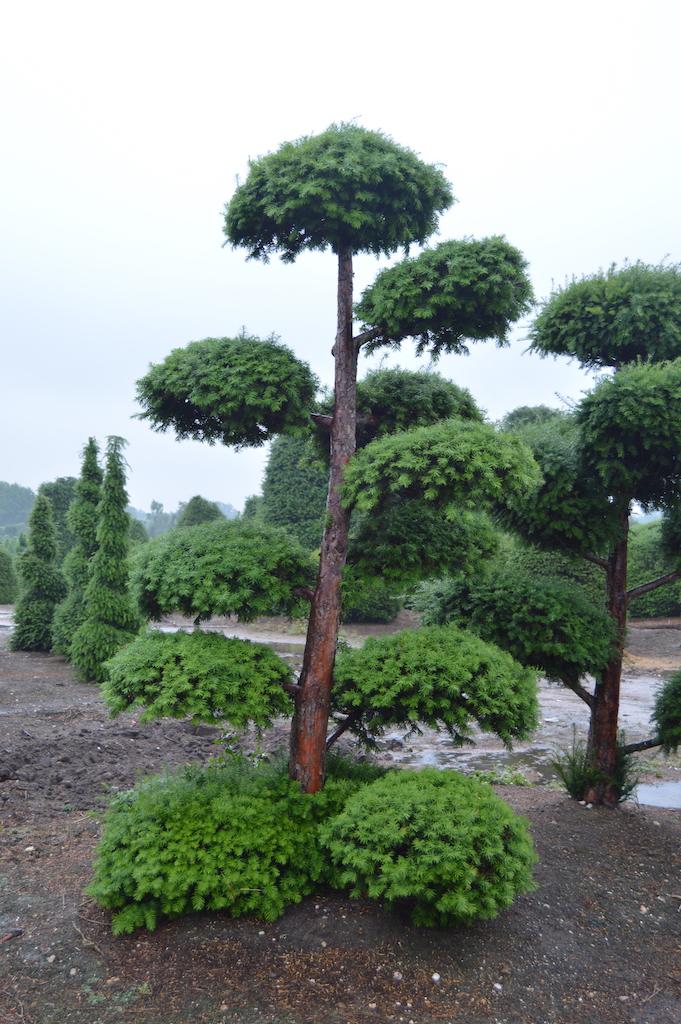 Taxus baccata cloud pruned tree (4)
