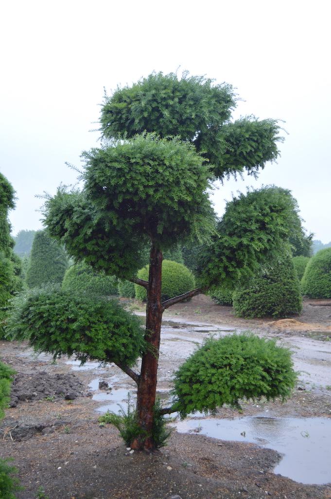 Taxus baccata cloud pruned tree (5)
